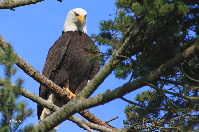 Mighty Bald Eagle