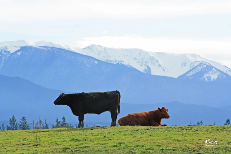 Cows 'n' Mountains