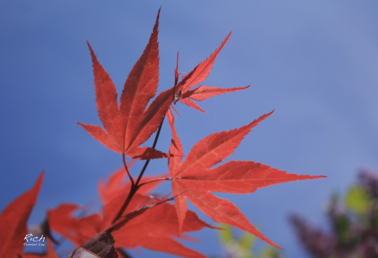 Red Leaves in Blue Sky