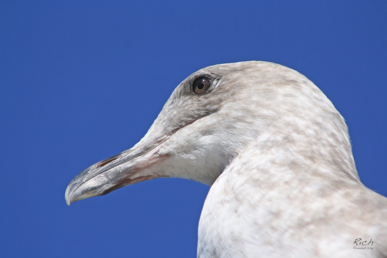 A Gull's Portrait