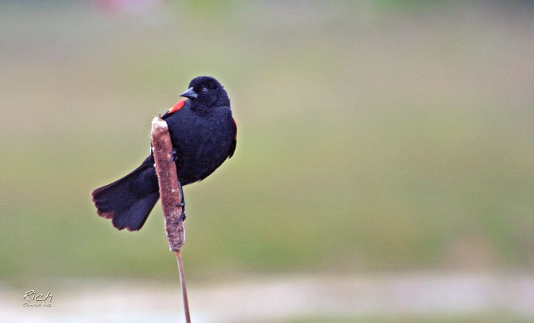 #project365 / Day 239 / Bird on a Cattail – Rich Proctor