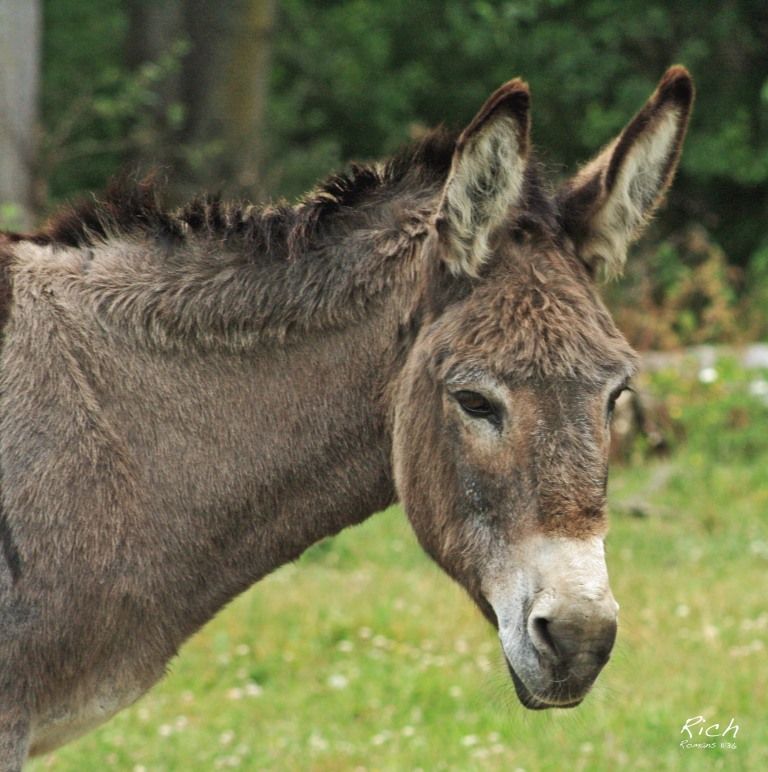 A Bashful Donkey