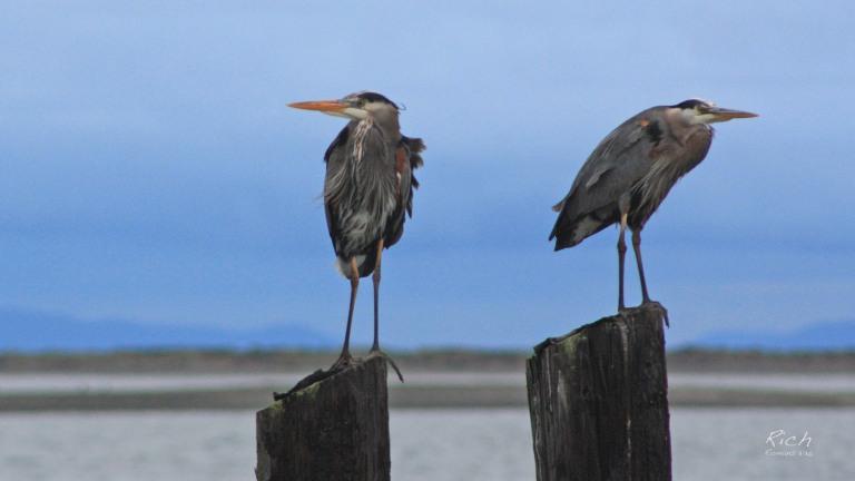 Morning Herons
