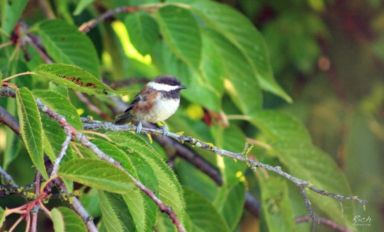 Bird in the Cherry Tree