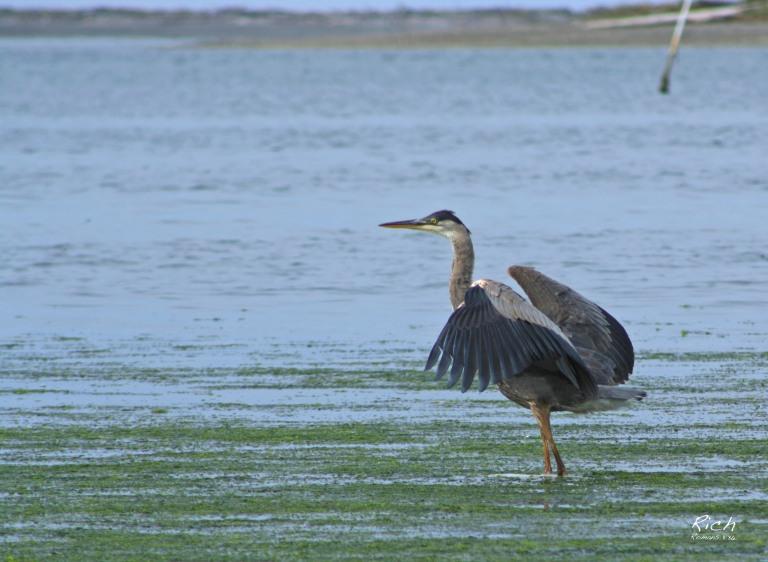 Heron Tide