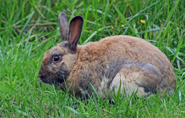 siwwy-wabbit