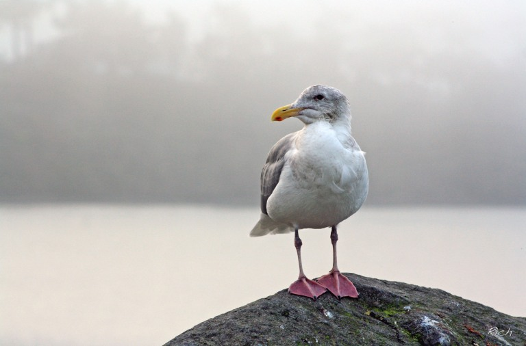 seagull-in-the-fog