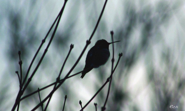 hummingbird-in-silhouette