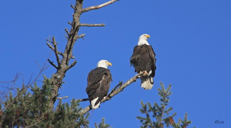 bald-eagles-blue-skies