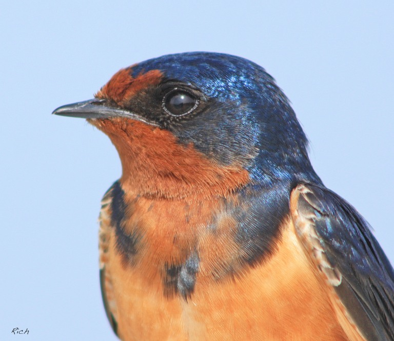Portrait of a Barn Swallow