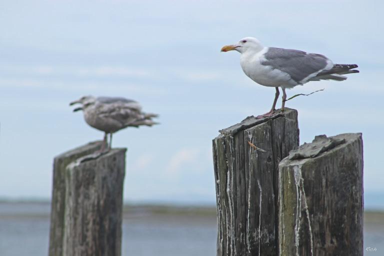 Ever-present Gulls