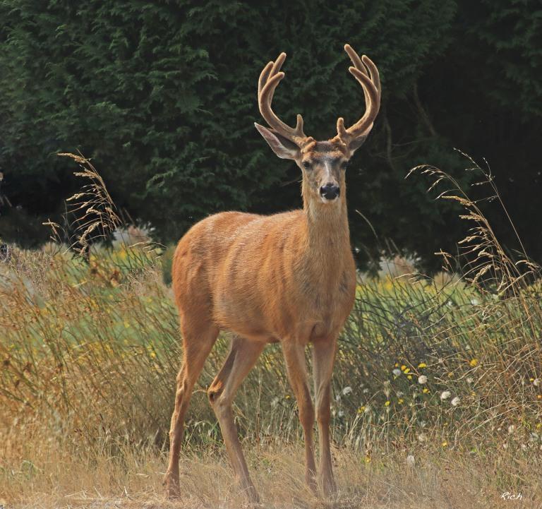 Buck in Sunlight