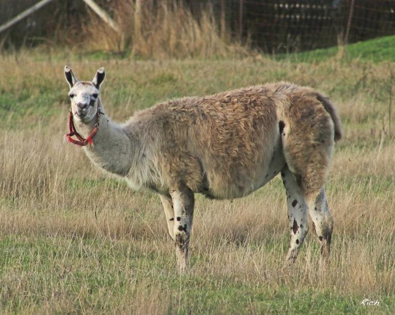 A Llama