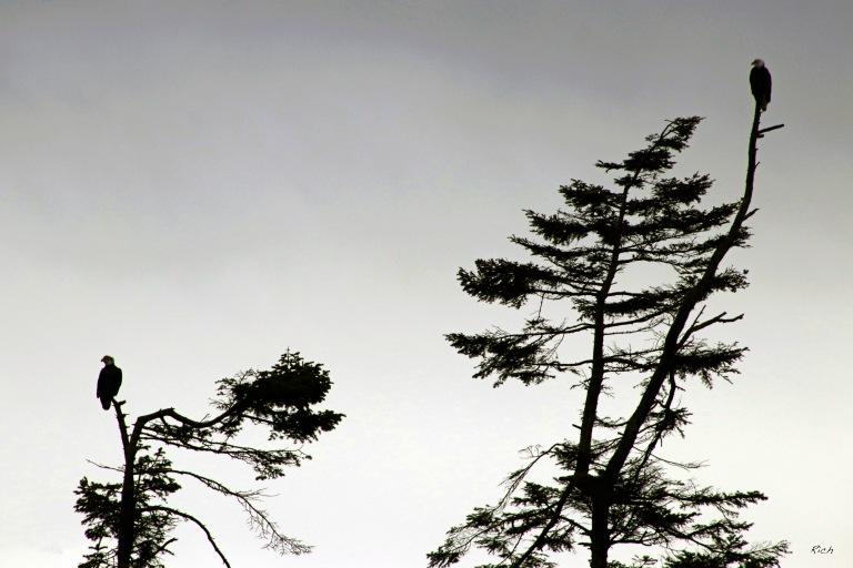 Eagles in Silhouette